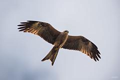 Black Kite (mvhc88) Tags: kite black bird birds nikon australia brisbane queensland prey tamron superzoom 150600mm