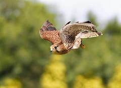Kestrel (Caleb4Ever) Tags: kestrel birdinflight birdofprey birdofpreyinflight bird bif raptor feathers caleb4ever wildlife wings nature kestrelinflight ngc npc