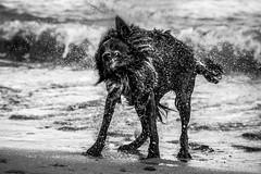 Shake It (Nuzulu) Tags: dog teeth spray shake fang jowls