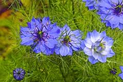 Summer Flora! (maginoz1) Tags: abstract art manipulate flowers flora summer december 2016 bullarosegarden melbourne victoria australia canon g3x