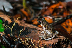 Tree frog (Bryn Tassell) Tags: borneo jungle mala malaysia mulu tropical national park sarawak tree frog