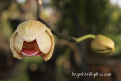 UnknownEOS 60D0304 (bngishak On & Off) Tags: phalaenopsis orchid bngishak canoneos60d efs1855mmf3556is flower december2016 plant dof bokeh bintangor