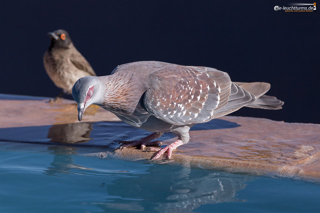 Speckled pigeon (or African rock pigeon)