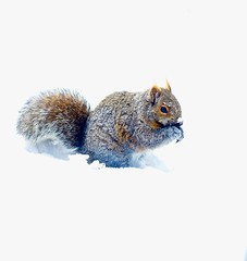 Squirrel in the Snow. Available for purchase on PhotoConcierge (CCphotoworks) Tags: december fluffy animal rodents greysquirrel grey furry cuteness winter wildlife nature snow squirrel