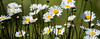 Basking in the Sunlight (maytag97) Tags: daisy flower white nature green summer background yellow flowers plant meadow rural sunlight pasture chamomile beauty pattern beautiful texture new closeup clean growth vibrant petal tranquil stem wildflower daisies natural spring country fresh bright maytag97 tamron 150 600 150600