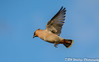 Make like a kestrel (davidrhall1234) Tags: waxwing birds bird birdsofbritain feather flight wildlife world woodland nature nikon nikond7100 aerial outdoor