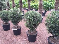 IMG_3582 (palmexpert_plants) Tags: olea europaea olijfboom olivo olivos dara zeytûnê oliventræ ձիթապտղի ծառ маслинено дърво オリーブの木 olivenueleg bam alyvmedis olijfbomen olivenbaum