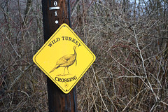 wild turkey crossing (MTSOfan) Tags: sign caution wildturkeys crossing wildlife turkeys