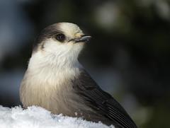 Portrait du Mésangeai du Canada   Forêt Montmorency   Saint-Ferréol-les-Neiges   Québec (sylvain.messier) Tags: mésangeaiducanada greyjay perisoreuscanadensis saintferréollesneigesquébec sylvainmessier canonpowershotsx50hs bird