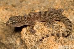 Afroedura nivaria - Drakensberg Flat Gecko. (Tyrone Ping) Tags: afroedura nivaria drakensberg flat gecko wwwtyronepingcoza tyroneping canon canon7d 100mmmacrof28 mt24ex free state herping herps herpetology wildlife wildanimals