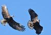 DB6_4825 (DouglasJBrown) Tags: baldeagles birdsinbc djbphotocom nikonafsnikkor300mmf28gedvrii wings wildlife boundarybay flight