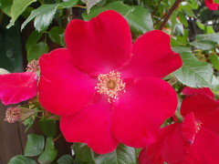 Red Rose (benhosg) Tags: newzealand southisland monavale