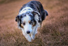 Bairla (morgane.machard) Tags: nikon explore bokeh dog australianshepherd bergeraustralien aussie chien nature eyes