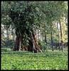 Old Shola Tree in Tea Bushes (Indianature st2i) Tags: valparai westernghats tamilnadu tea indianature india indiragandhiwildlifesanctuary anamalaitigerreserve anamalais anamallais 2016 2017 nature stanmoreestate