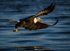 Eagle Just Missed (TroyMarcyPhotography.com) Tags: 11windchill americanbaldeagle canon400mmf56l canon7d illinois iowa mississippiriverbaldeagles2017 winter birds cold nature wildlife wwwtroymarcyphotographycom