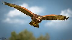 Aguila de harris 3 (PictureJem) Tags: aguiladeharris aves