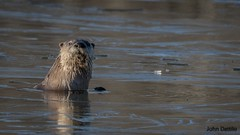 Muscatatuck River Otter (flintframer) Tags: muscatatuck national wildlife refuge indiana southern otter river ice nature hunting canon eos 7d markii ef100400mm dattilo