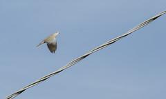 Piccione in salita (elias.seddone) Tags: sardegna sea birds animal sardinia sardinian blu pigeon paloma ali uccelli animali piccione gallura volatili budoni tanaunella