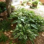 June garden Hostas at Hawks thumbnail