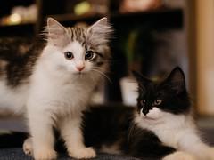 Brothers (rampx) Tags: cat pentax neko niko   norwegianforestcat miaw weegie vicke 645z