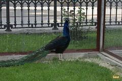 8. Black-shouldered peafowl / Павлин Черноплечий