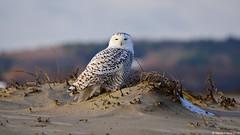 Snowy Owl (Bubo scandiacus) (Steve Arena) Tags: snow nikon essexcounty massachusetts raptor owl d750 ipswich snowyowl 2014 sandypoint irruption buboscandiacus sandypointstatereservation irruptive
