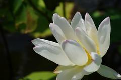 Lotus (ddsnet) Tags: lotus sony taiwan 99  taoyuan aquaticplants slt               singlelenstranslucent 99v