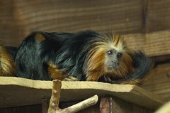 Golden-Headed Lion Tamarin Birmingham Wildlife Conservation Park 250515 (Dan86401) Tags: nature animal mammal primate leontopithecuschrysomelas goldenheadedliontamarin callitrichidae birminghamwildlifeconservationpark