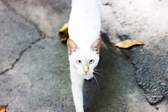 Gatinho (Lua Pramos) Tags: pet cute love animal cat photography amor blueeyes kitty lindo gato lovely fotografia seeme fofo whitecat andando gatinho olhosazuis amordemais gatobranco pramos luapramos lucianapramos meolhando