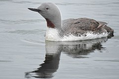 Red Throated Reflections. (stonefaction) Tags: city red nature birds dave scotland dundee wildlife quay diver throated