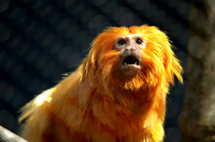 out loud-edited (Brandywine Zoo) Tags: golden lion tamarins