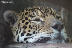 giaguaro pensieroso (pinkystar_84) Tags: natura roar felini jaguar giaguaro animals animali mammals caccaitore predatore mammifero maculato manto pelliccia canon 700d colors colori pensieri think
