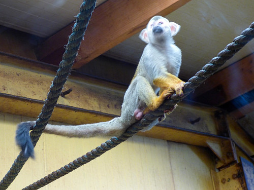 South Lakes Zoo - squirrel monkey (2)