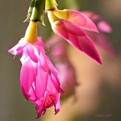Some color in wintertime (Cajaflez) Tags: flower bloem fleur blume pink roze lidcactus schlumbergera kaktus cactus ngc npc coth5