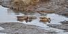 2017-01-15 Green-winged Teal & Norther Pintail Ducks (02) (2048x1024) (-jon) Tags: anacortes skagitcounty skagit washingtonstate salishsea fidalgoisland sanjuanislands pugetsound marchpoint fidalgobay padillabay casinodrive bingohalllagoon bird waterfowl duck northernpintail anasacuta pintail female feeding greenwingedteal anascarolinensis teal male drake winter pacificnorthwest a266122photographyproduction