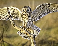 """Sometimes It's Just Blind Faith"" Short-Eared Owl, Western Washington (Hawg Wild Photography) Tags: shortearedowl shorteared owl owls bird birds of prey raptor raptors nature wildlife animal animals pacific northwest western washington terrygreen nikon nikon600mmvr d810 hawg wild photography"