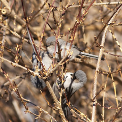 American Bushtits (Jeff Mitton) Tags: americanbushtits psaltripanusminimus bird colorado earthnaturelife wondersofnature