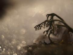 Cladonia rangiferina (Simon Finland) Tags: cladonia rangiferina olympus ep5 mzuiko ed 25mm f18 macro extension tube 10mm bokeh snow lechen lav jäkälä finland suomi outside winter