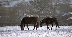 In the bleak midwinter .... (A child in the night) Tags: winter bleak snow horses theedge christmas december england