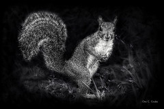 The Acceptable Rodent (Chris C. Crowley- Off mostly- Working!) Tags: theacceptablerodent squirrel rodent mammal animal cute blackwhite monochrome furry whiskers fluffy