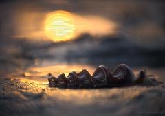 Sunrise screw_c (gnarlydog) Tags: adaptedlens sunrise silhoutte shell beach foreshore water reflection bokeh shallowdepthoffield closeup australia warmlight backlit manualfocus wabisabi
