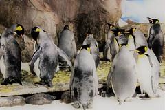 KELLY TARTLON'S SEA LIFE AQUARIUM (PINOY PHOTOGRAPHER) Tags: auckland newzealand world amazing popular fabulous interesting canon camera light photography picture color penguin bird animal sealife aquarium sensational