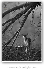 WILD INDIA (Archna Singh Photography and Design Studio) Tags: wildindia wildlife incredibleindia antelopes tigers tiger royalbengaltiger