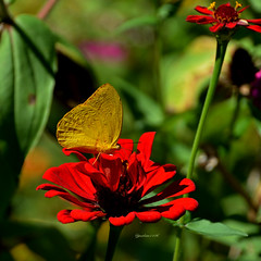 Large orange sulfur and red zinnia (justkim1106) Tags: butterfly insect nature bokeh flower zinnia texas beyondbokeh
