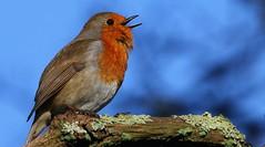 Robin 080217 (1) (Richard Collier - Wildlife and Travel Photography) Tags: naturalhistory wildlife birds british robin britishbirds naturethroughthelens