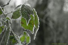 13Givrés (Pierrokaphoto) Tags: verte givrée glacée végétation