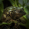 Big Green Treefrog (Ralph Runknagel (sehnerv19)) Tags: reptilie animals zoo wilhelma nature nik omd olympus closeup