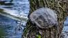 Turtle at the tree (sebastian_knorr) Tags: südsee braunschweig schildkröte turtle tree baum sommer wasser water animal tier