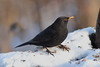 Blackbird with cold feet. (david.england18) Tags: maleblackbird blackbird smallbirds various tits blue coal great longtailed queensparkheywood canon7d canonef300mmf4lisusm birdsuk