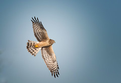 Northen Harrier: Circus cyaneus - adult F (renzodionigi) Tags: aves neornithes accipitriformes accipitridae circus albanellareale